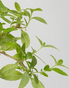 Verbena Lemon