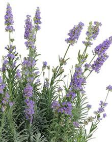 Lavender Dwarf Blue