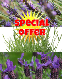 Hetty's Lavender Selection Special