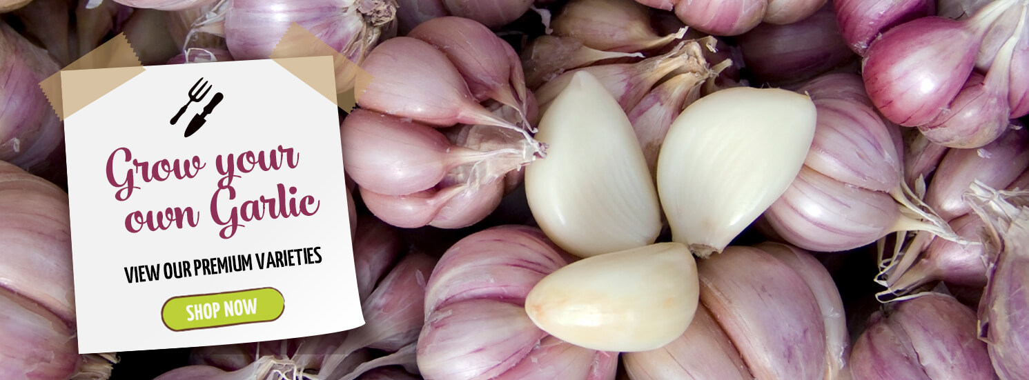 Hetty's Herbs Hetty's Herbs & Plants Grow your own Garlic