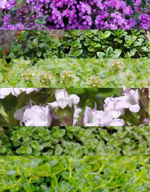 Thyme Creeping Herb Collection