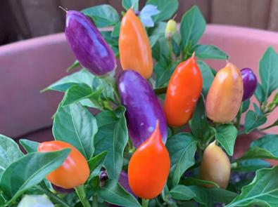 Chilli Pepper Basket of Fire