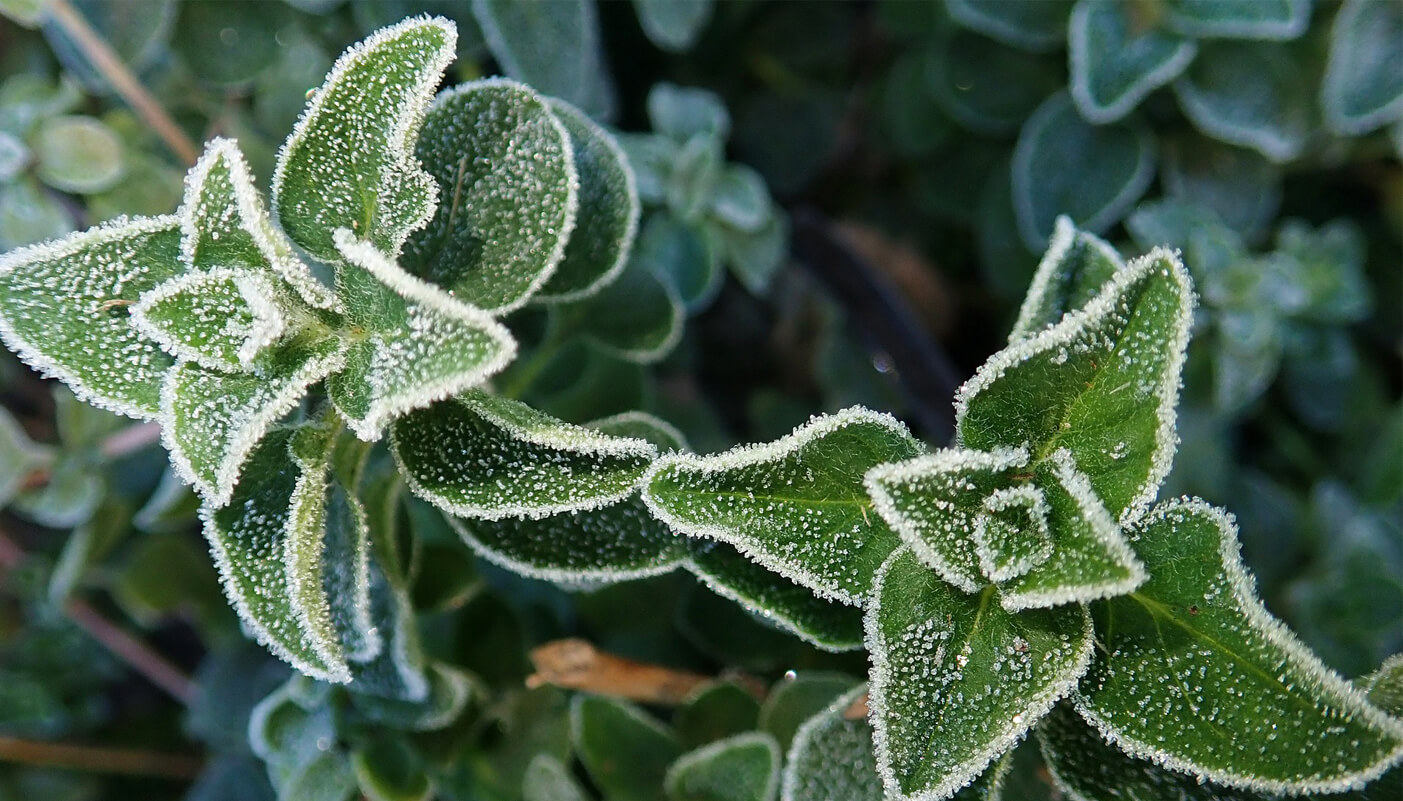 Protect your herbs for winter
