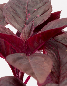 Amaranth Red Army