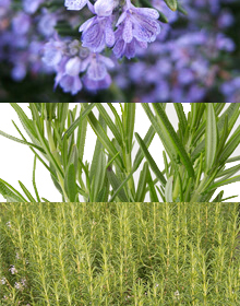 Rosemary Herb Collection