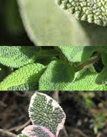 Sage Herb Collection