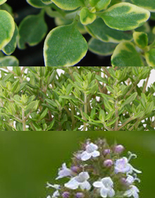 Thyme Herb Collection