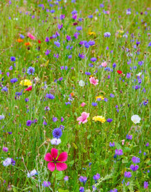 Wildflower Seed Cornfield Mix