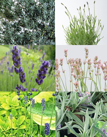 Grower's Choice – Lavender