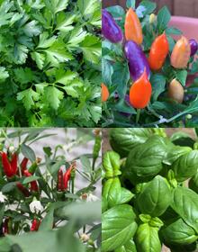 Chilli & Friends Plant Collection