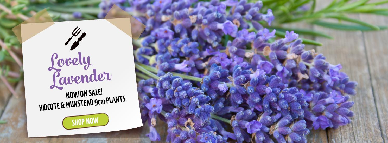 Hetty's Herbs Lavender Sale